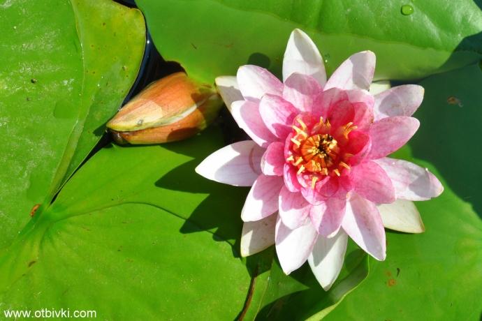 Водна лилия